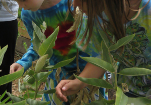 Monitoring Monarch Butterflies in the Milkweed,